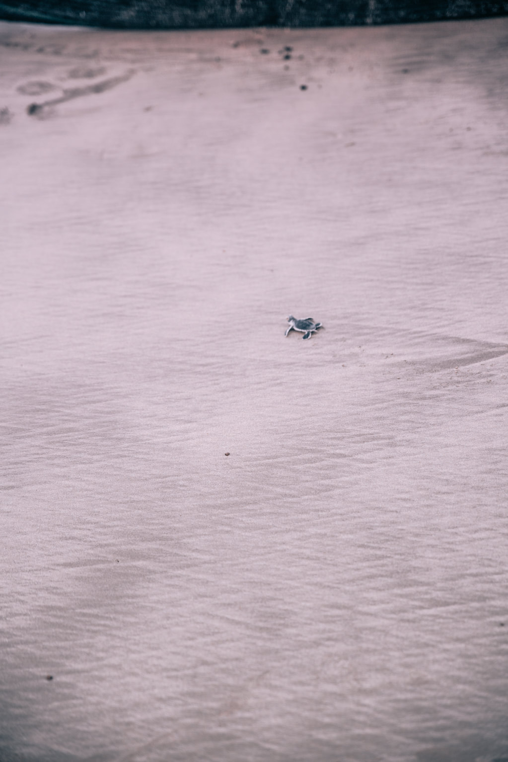 Turtle hatching on Con Dao Island By The Belle Blog